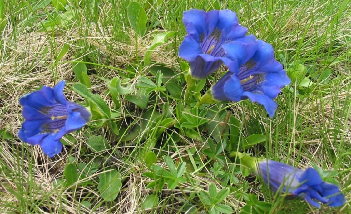Blumenwelt der Dolomiten
